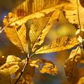 Photos: 漆の木