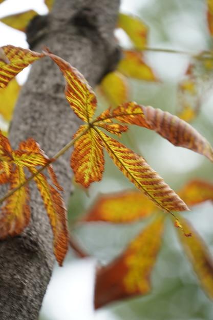 トチノキの葉