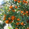Photos: 常盤柿