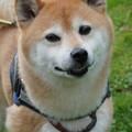 Photos: 柴犬