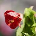 Photos: 赤いアブチロン
