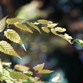 Photos: 山吹の葉