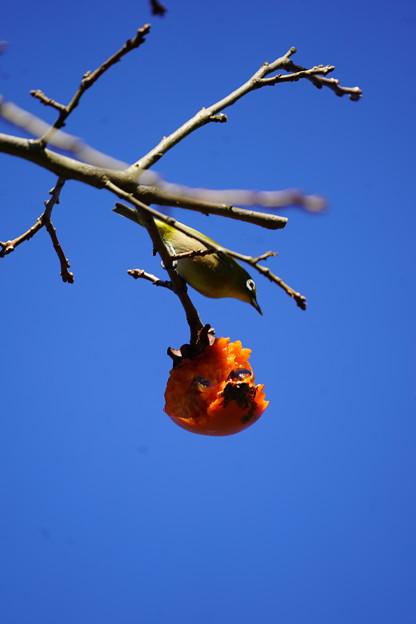 柿食うメジロ