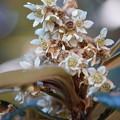 Photos: 琵琶の花