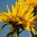 初冬の向日葵