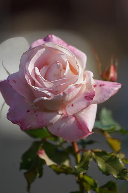 ピンク・グルス・アン・・アーヘン