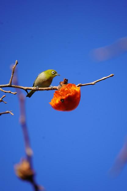 熟柿と目白