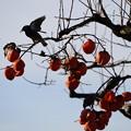 Photos: 柿食う鳥