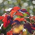 紫陽花の葉