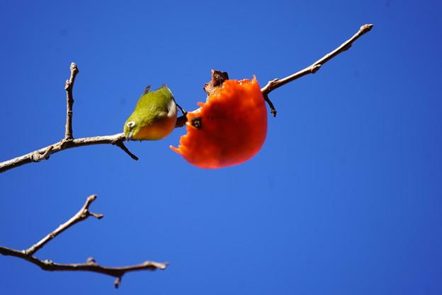 Photos: 柿と目白