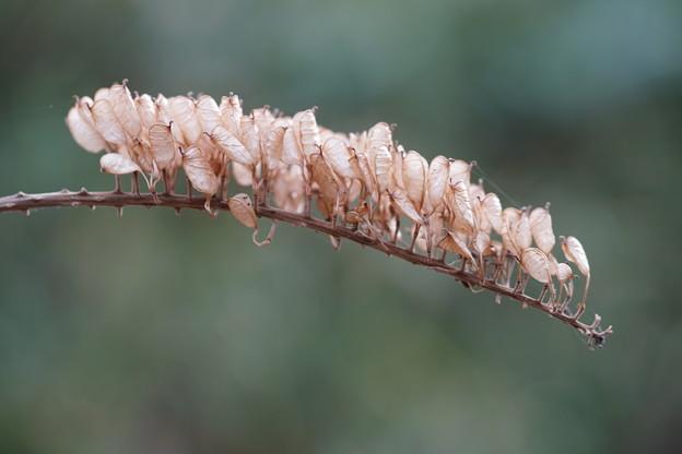 サラシナショウマの種