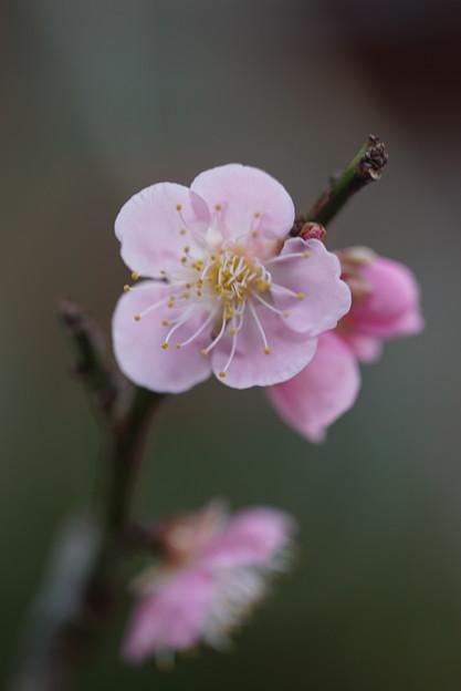 ピンクの梅