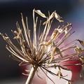Photos: アガパンサスの種