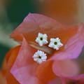 Photos: ブーゲンビレアの花
