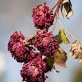 Photos: 冬の薔薇