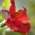 赤いハイビスカス