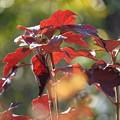 Photos: カシワバアジサイの葉