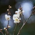 Photos: 月の桂