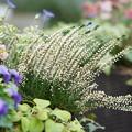 Photos: 寄せ植えの花