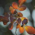 Photos: 薔薇の葉