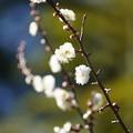 Photos: 八重野梅