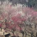 Photos: 根岸森林公園梅林