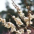 Photos: 玉牡丹