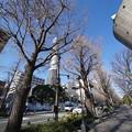Photos: 冬の銀杏並木