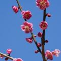 Photos: 古代紅鶯宿