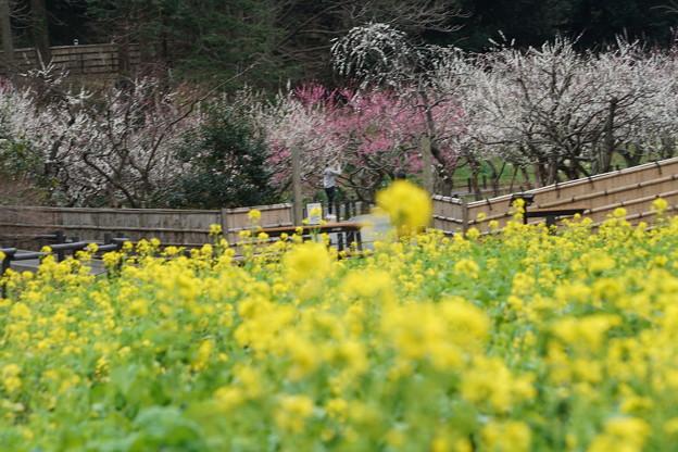 菜の花と梅林