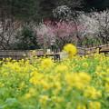 Photos: 菜の花と梅林