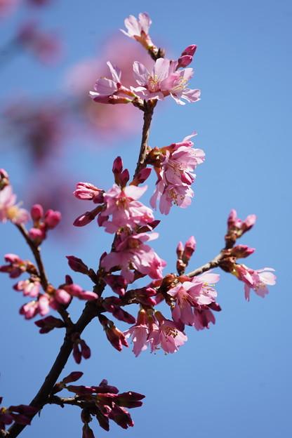 Photos: おかめ桜
