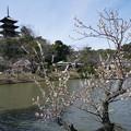 Photos: 梅と三重塔