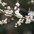 Photos: 鶯宿売梅
