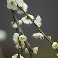 Photos: 緑萼枝垂れ