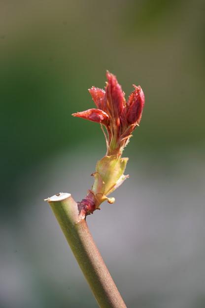 薔薇の若葉