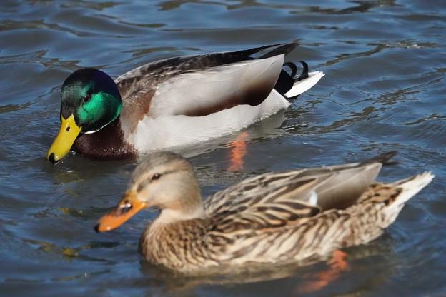 雌雄の真鴨