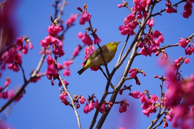 寒緋桜と目白