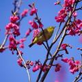 Photos: 寒緋桜と目白