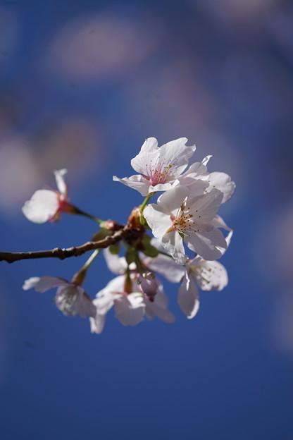 Photos: 玉縄桜