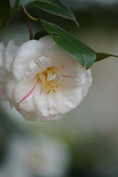 Photos: 白い椿
