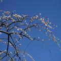 Photos: 満月枝垂れ