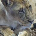 雌のライオン