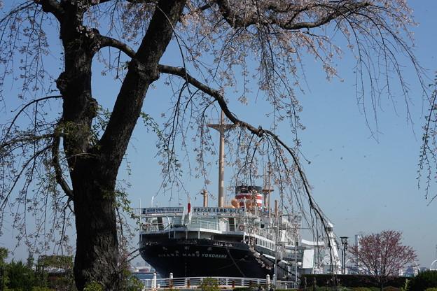 枝垂れ桜と氷川丸