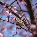 Photos: 桜と雀