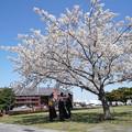 Photos: 桜と赤レンガ倉庫