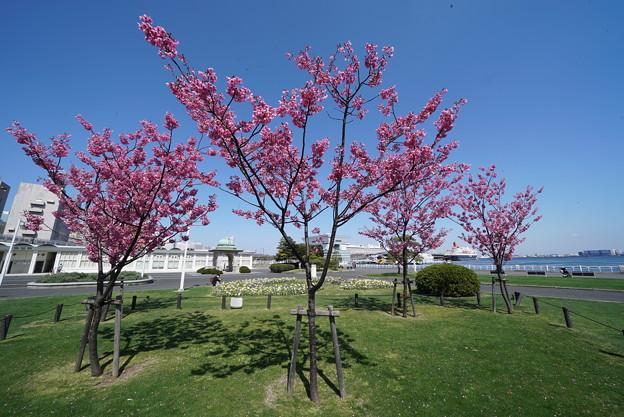 桜咲く山下公園