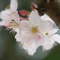 Photos: 足柄桜