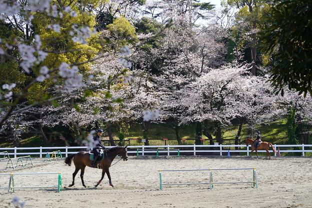 Photos: 馬術練習場の桜