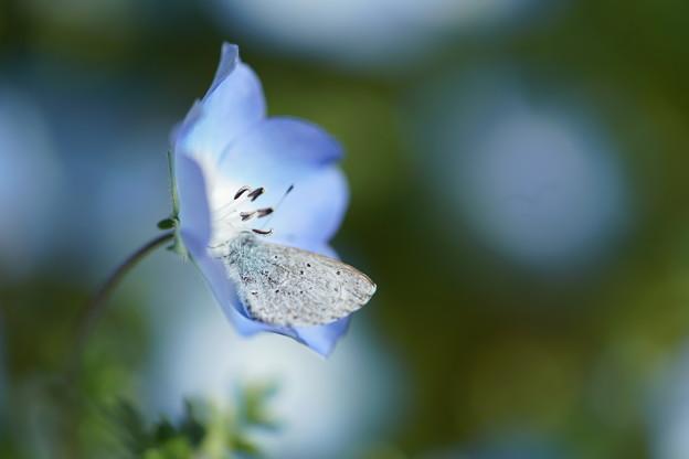 ネモフィラと蝶